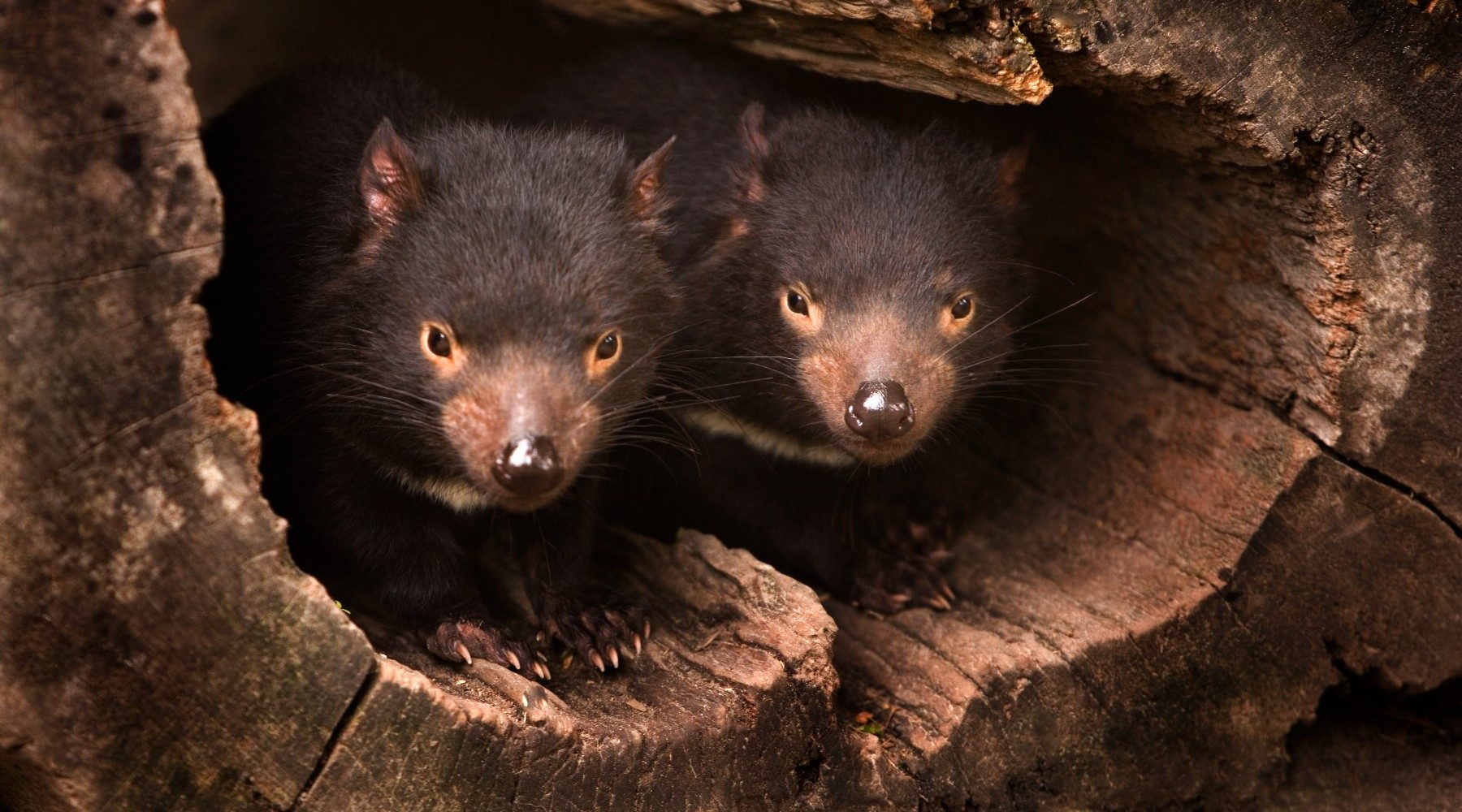 Two Tasmanian devils sitting together in the hollow of a fallen tree.